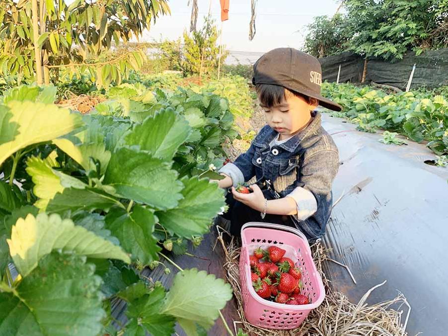 Picking strawberries at local farms Da Lat